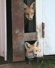 foxes-in-the-henhouse